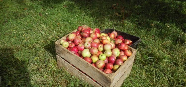 Plus de 6 tonnes de pommes récoltées grâce à vous !